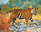 Hoping for an incline in tiger population
