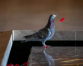Poppy-stealing pigeon offers poignant reminder of war anniversary