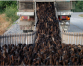 Unleash the ducks! Thai drought worries threaten farming tradition