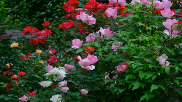New shrub rose hybrids are easy to care for, easy to love