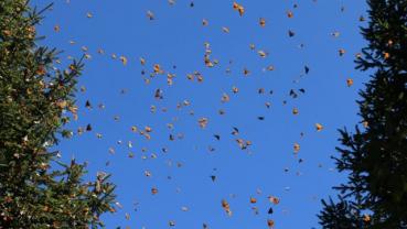 Butterflies abound in mountainous Mexican winter habitat