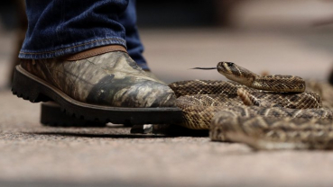 Rattlesnakes slither at Texas Capitol to promote roundup