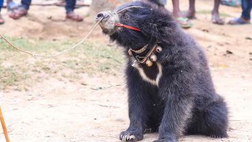 Endangered sloth bear rescued from eastern Nepal
