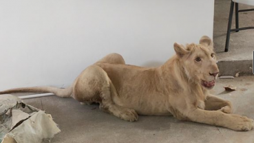 Declawed TikTok lion rescued from Phnom Penh home