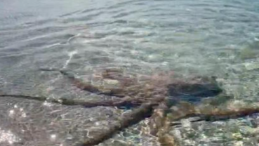 'Angriest octopus' lashes out at man on Australia beach