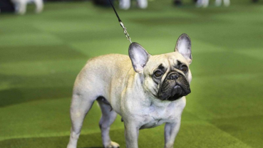 Look out, Labs: French bulldogs now 2nd most popular US dog