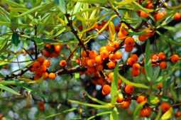 Health benefits of Sea buckthorn (Dale Chuk)