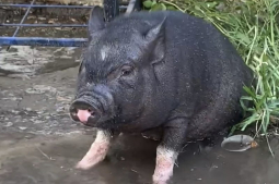 Pig-headed pig's escapades cause owner to face citations