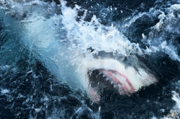 Virus-quieted oceans open window for Shark Week researchers
