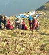 Harvesting yartsa gunbu  during the pandemic
