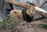 2 elderly African lions die at San Francisco, San Diego zoos