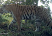 Tiger count commences at Shuklaphanta national park