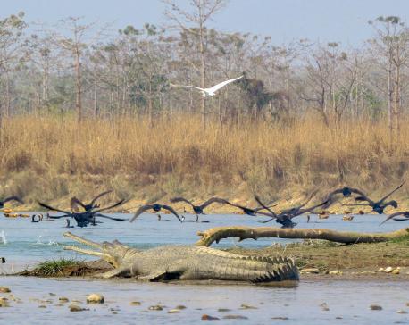 Saving the world's rarest crocodile from extinction