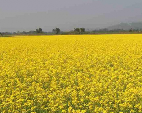 Technicians reach mustard fields to control insect infestation