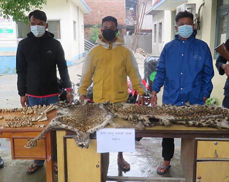 Three arrested with tiger hides, bones