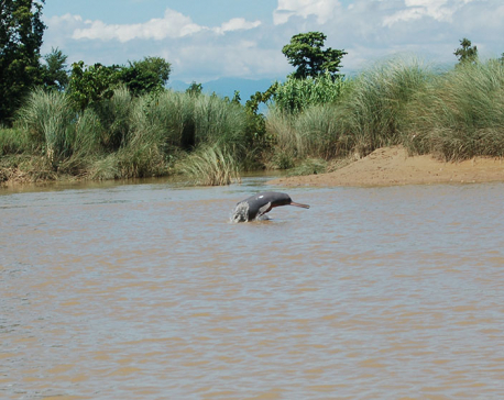 Kailali sees increase in the number of Dolphins