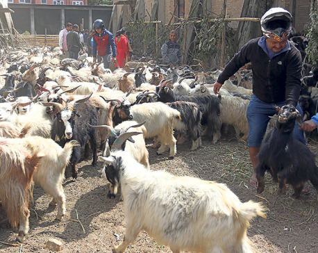 70,000 goats ready for sale this Dashain