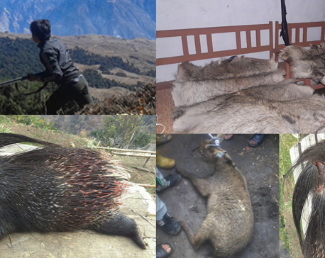Poaching of rare wildlife goes unbridled in Kalikot (photo feature)