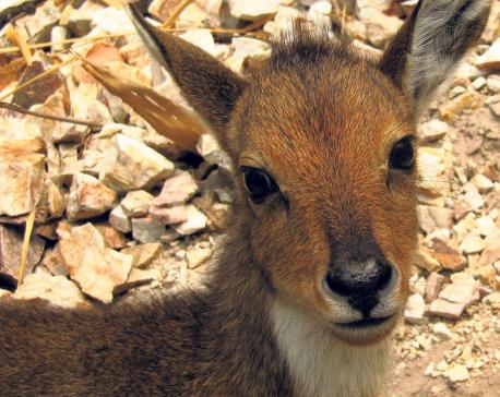Hunters become saviors for dwindling gorals