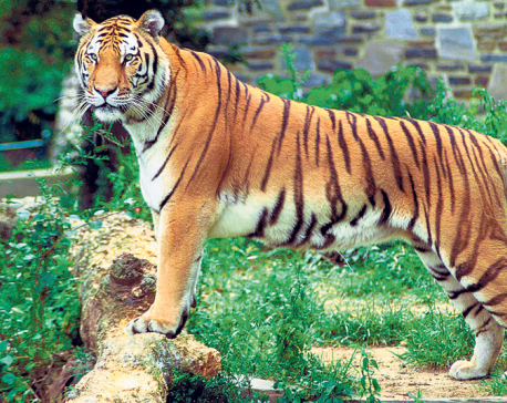 Nepal and India to conduct joint tiger census using same method