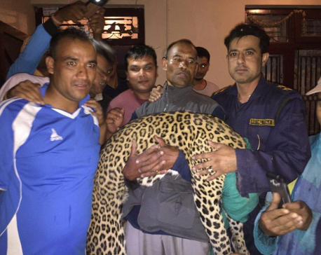 Leopard enters house in Lubhu, rescued alive