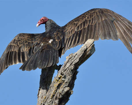 Vulture count starts in ACAP vicinity