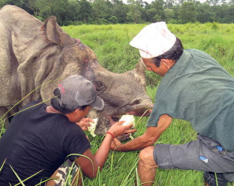 Chitwan rhino wounded by gunshots recovering