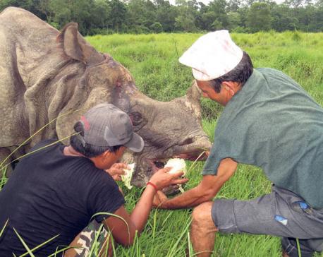 Chitwan rhino wounded by gunshots recovering