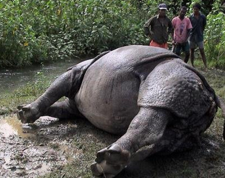 Rhino electrocuted in Chitwan
