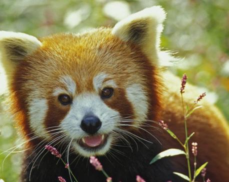 Poaching of Red Pandas sans reason