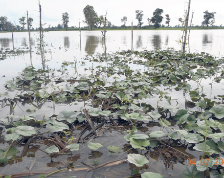 Mahakali floodwaters destroy crops in Kanchanpur