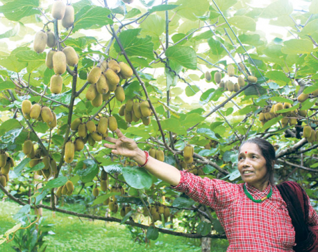 Kiwi fruit brings prosperity to farmers