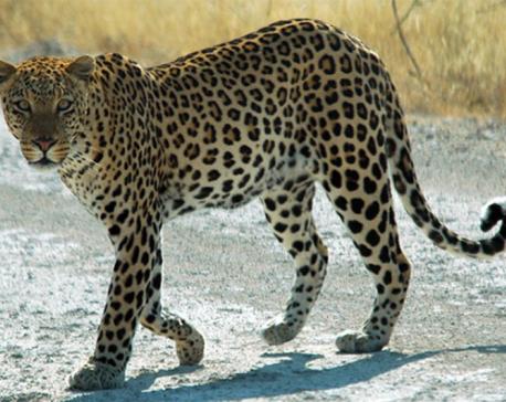 4yo girl found dead in apparent leopard attack
