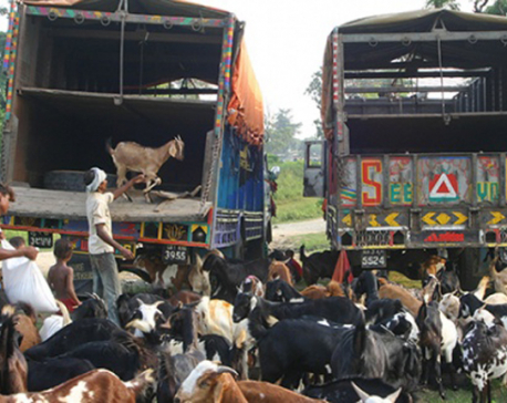 800 plus goats and buffaloes sacrificed in two Temples at Baitadi on Maha Astami