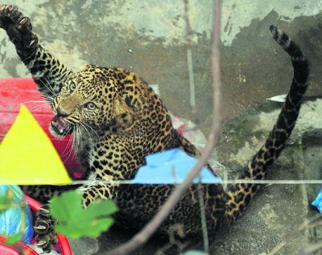 Leopards increasingly enter human settlements of Kathmandu Valley