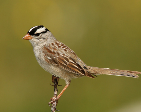 Sparrows and drongos fast disappearing from villages