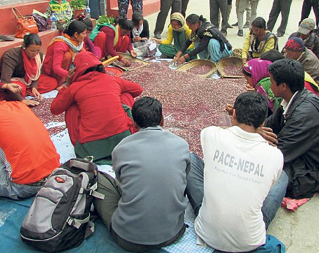 NFC starts buying beans, buckwheat in Karnali