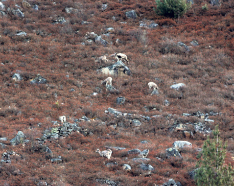 Rampant poaching in Mugu endangers many species