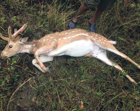 Stray dogs becoming a threat for the deer of the Chitwan National Park