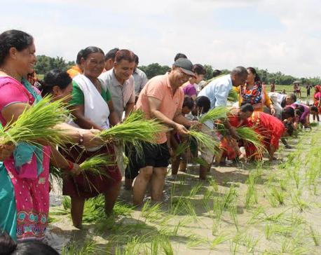 Paddy plantation in Morang