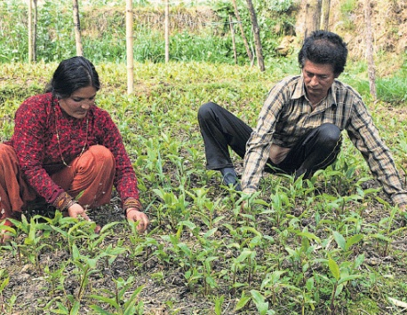 Dipping cardamom prices leave farmers worried