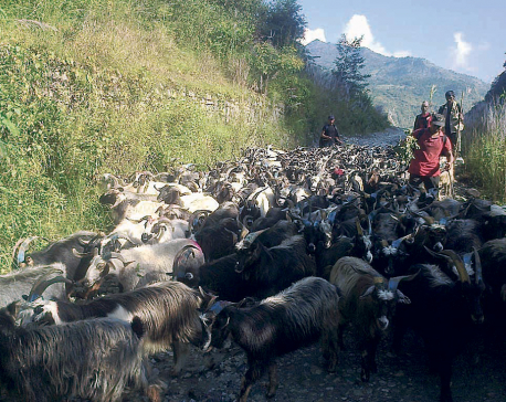 Mustang to supply 25,000 sheep and mountain goats for Dashain