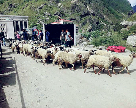 Import of sheep, mountain goats from Rasuwagadhi drops