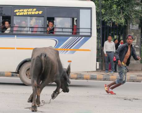 In pictures: Buffalo on the loose creates panic in Sundhara