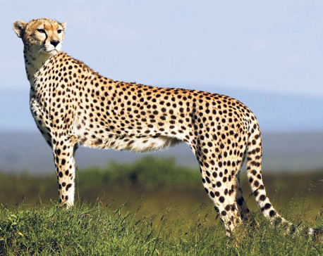 Cheetah headed for extinction, just 7,100 left