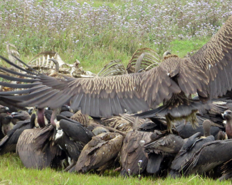 Preserved vulture to be released in nature