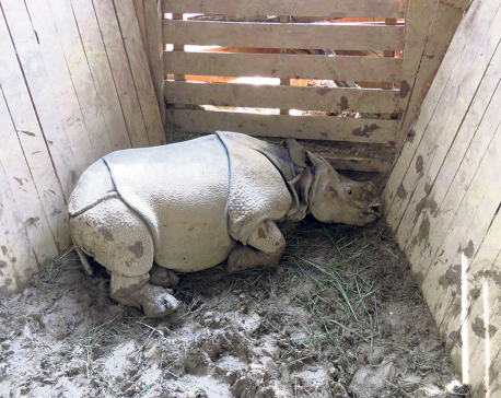 CNP captures 4 baby rhinos for gifting to China