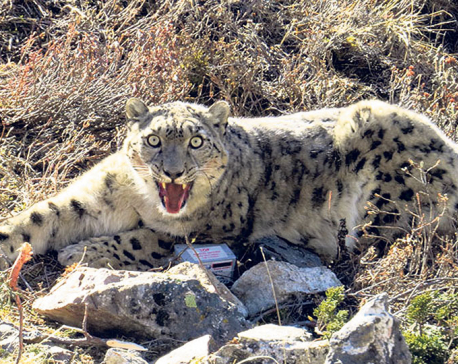 Census of snow leopards begins in Dolpa