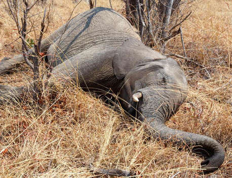 Elephant crisis as one is killed every 25 minutes