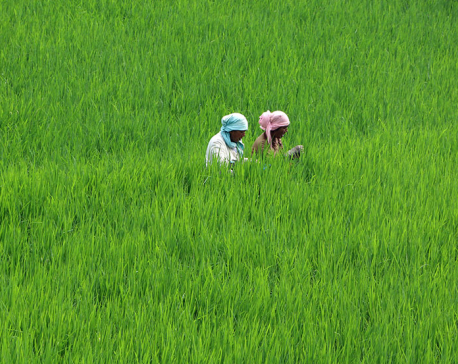Paddy plantation 90 per cent complete so far
